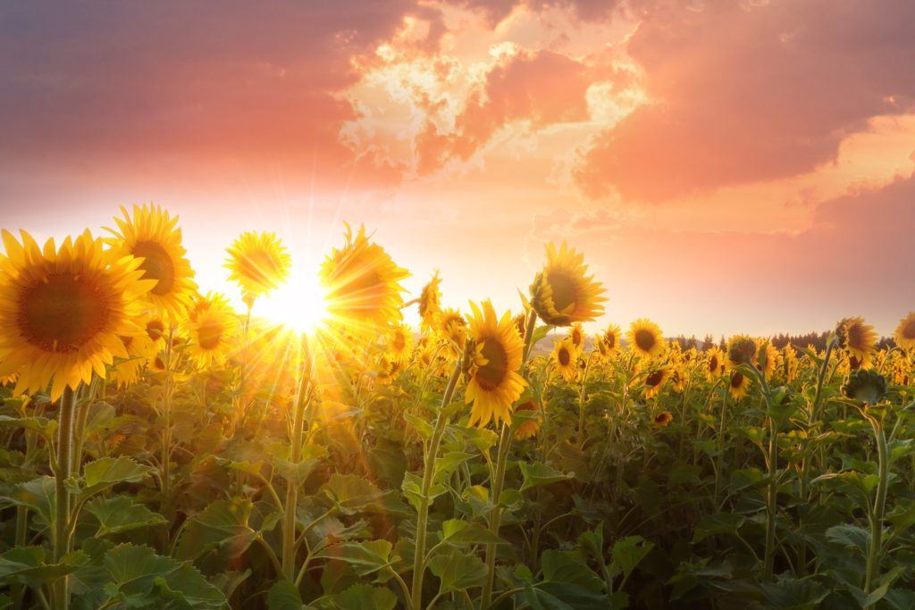 sunflower is one of the grasslands plants
