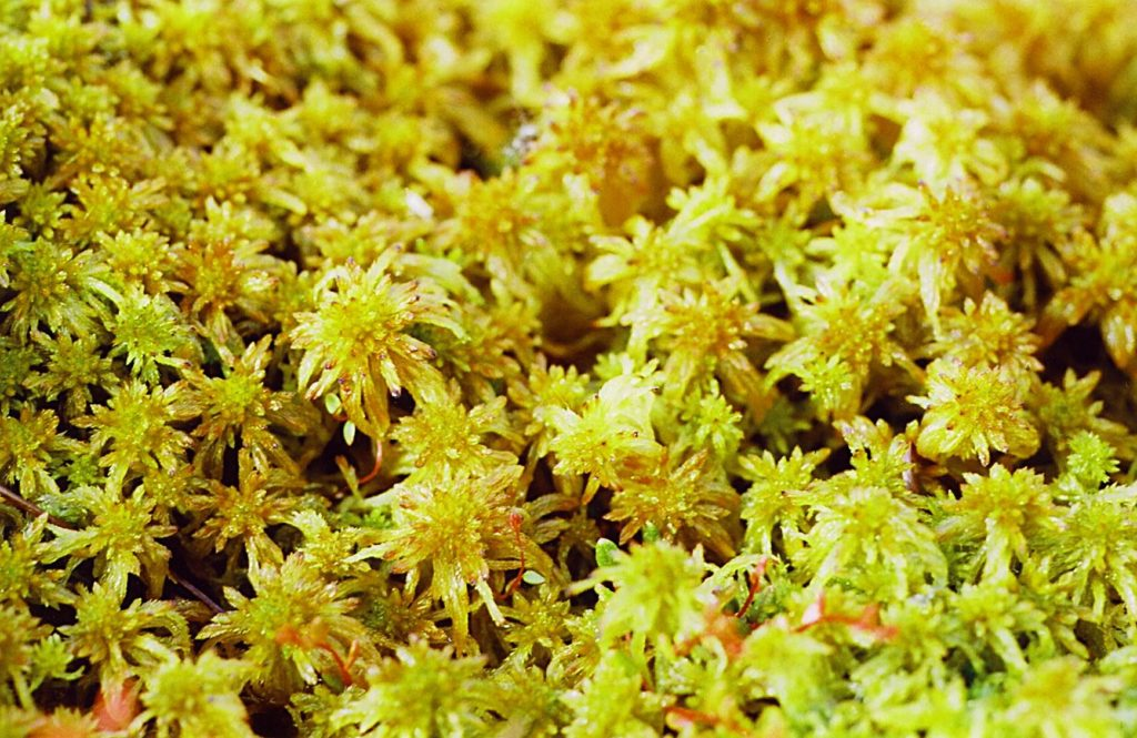 sphagnum moss before being used as orchid moss